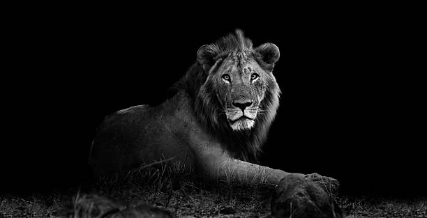 Royalty Free Lion Pictures Images And Stock Photos Istock