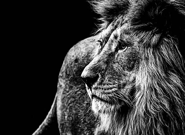 royalty free black and white lion pictures images and stock photos