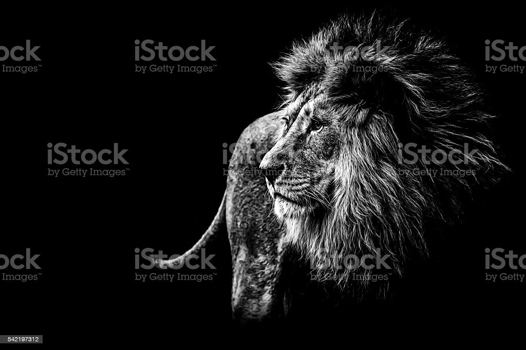 lion in black and white royalty-free stock photo
