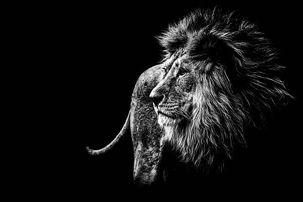 lion in black and white stock photo