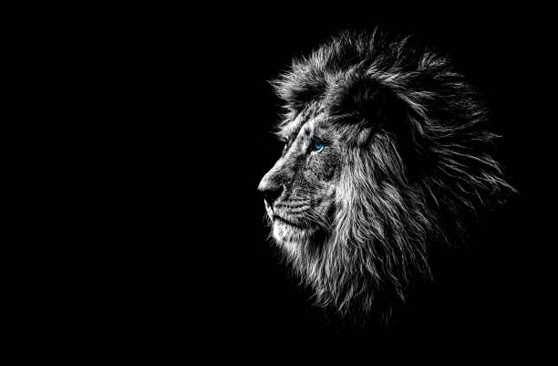 lion in black and white with blue eyes - lion stock photos and pictures