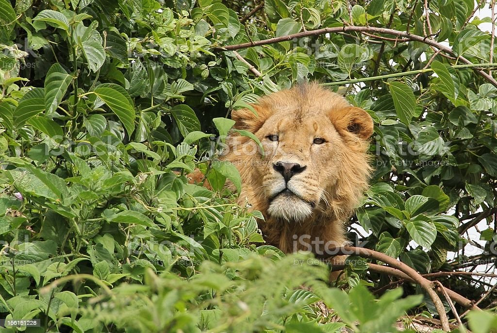Lion in canopy royalty-free stock photo
