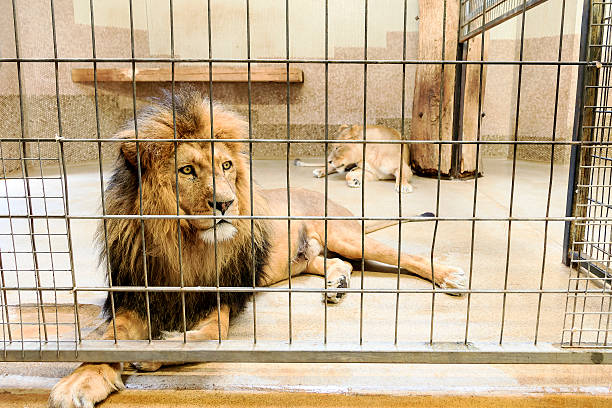 lion in captivity - animals in captivity stock pictures, royalty-free photos & images