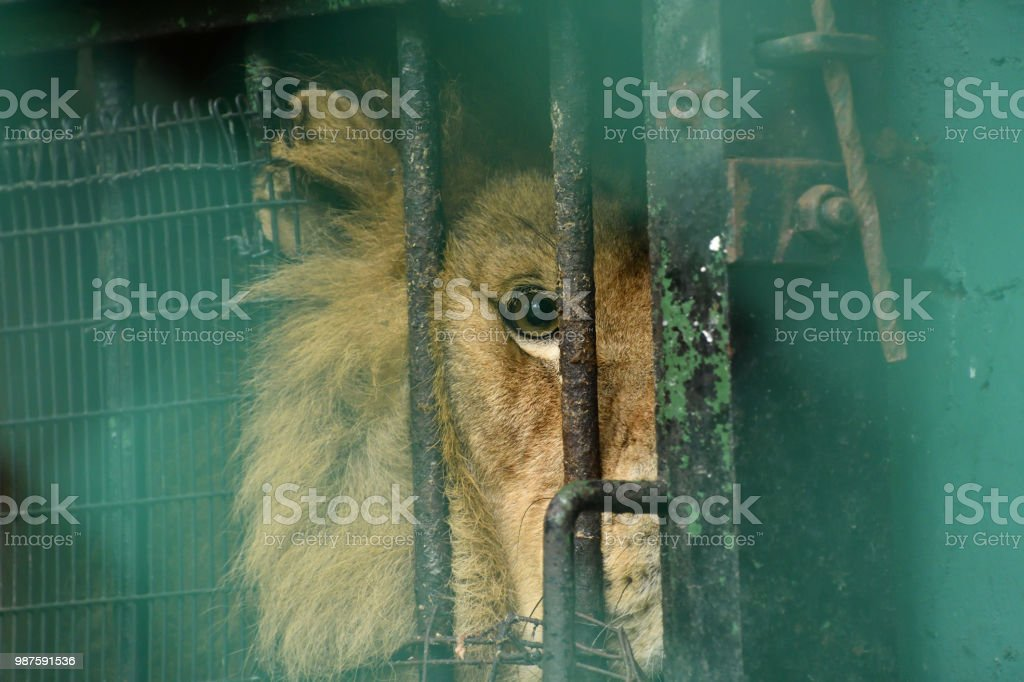 A lion in captivity stock photo