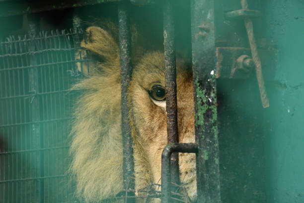 a lion in captivity - animals in captivity stock pictures, royalty-free photos & images