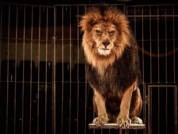 Lion en cage au cirque - Photo