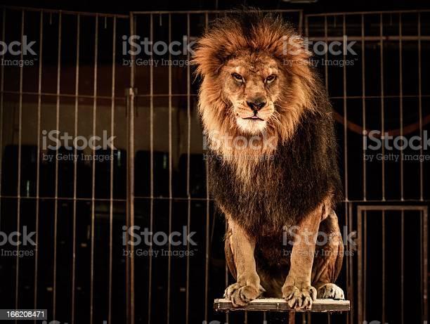 León En Circo De Jaula Foto de stock y más banco de imágenes de Circo