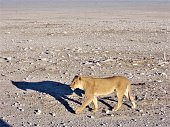 Lioness is walking it the savanna and looking for the rest of the lion pride. African lion in the desert.