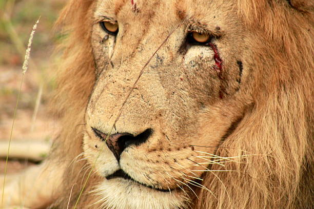 Wounded Lion Stock Photos, Pictures & Royalty-Free Images