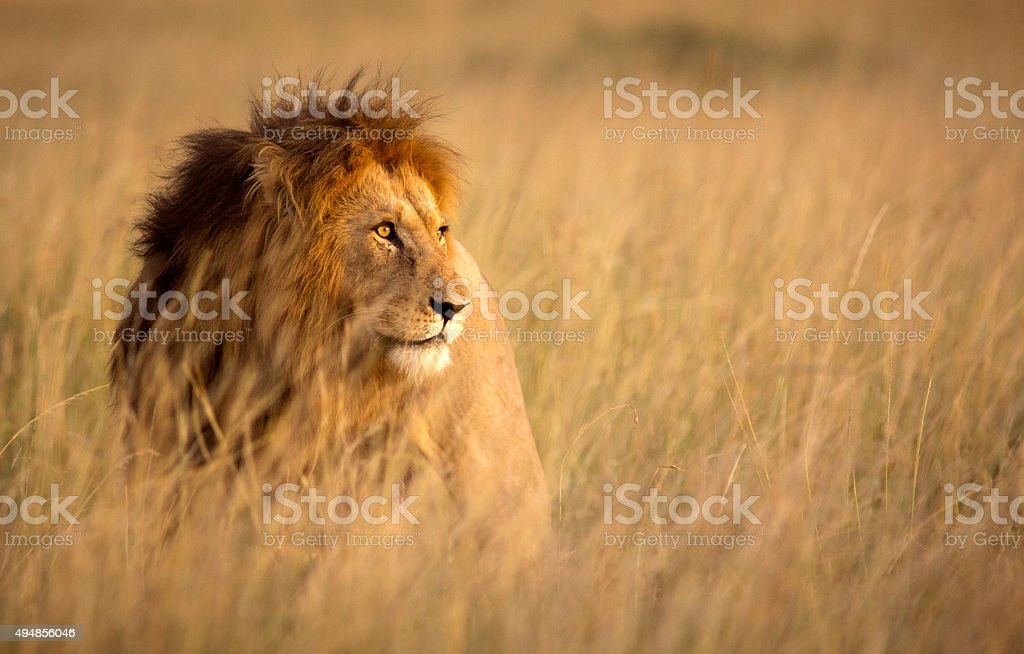 Lion in high grass royalty-free stock photo