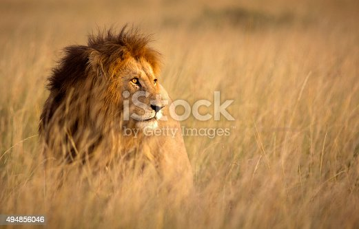 Large male lion in high grass and warm evening light - Masai Mara, Kenya