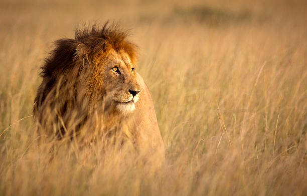 lion in high grass - safari stock photos and pictures