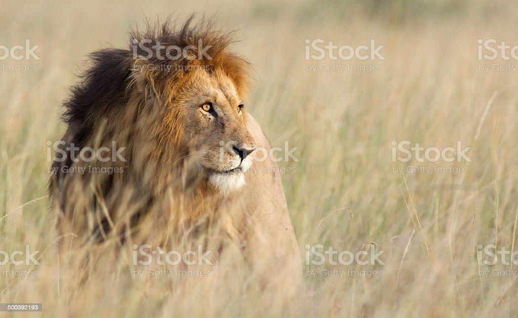 Lion de l'herbe - Photo