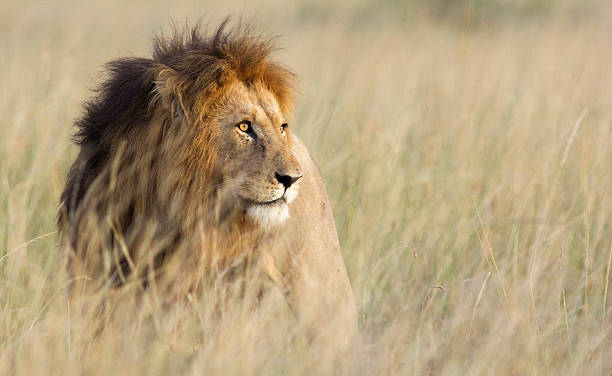 lion in high grass - lion stock photos and pictures