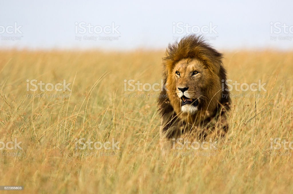 Lion in high grass stock photo
