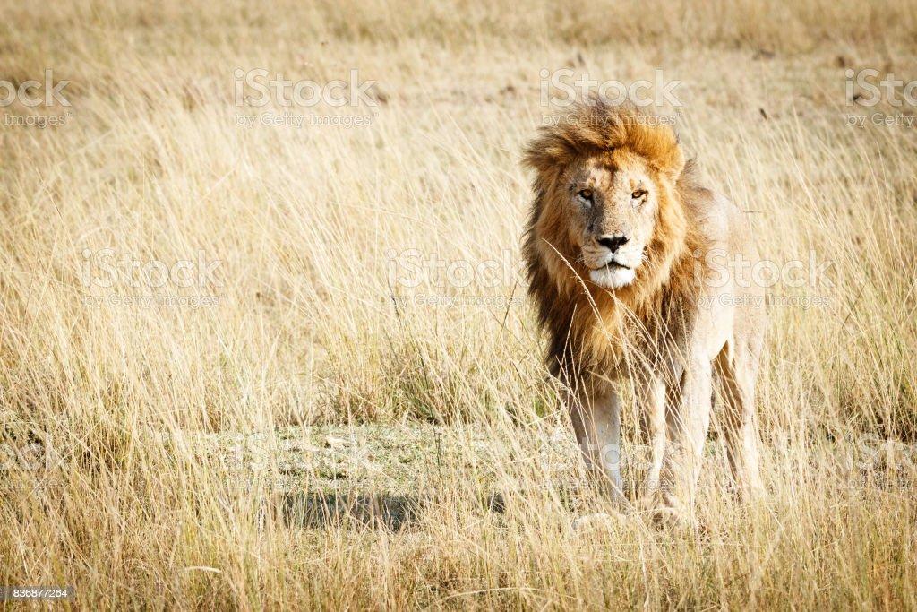 Kopya alanı ile Kenya Afrika'daki aslan stok fotoğrafı
