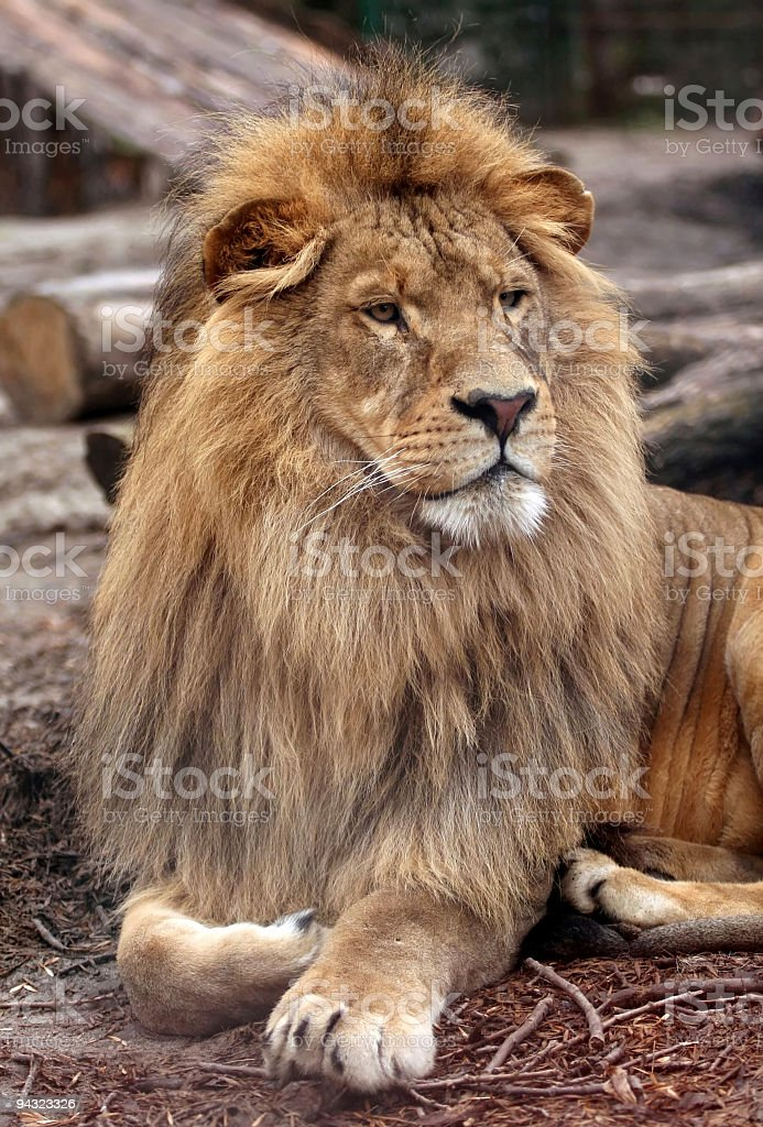 lion in king pose royalty-free stock photo