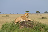 Lioness sits on a small hill in the middle of meadows in Maasai Mari