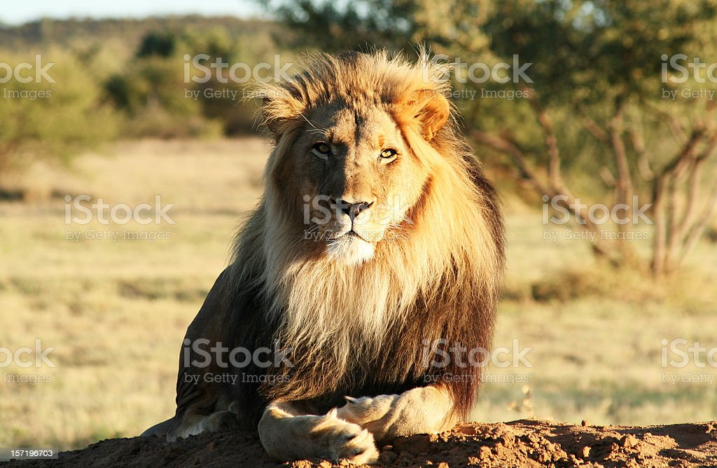 Lion in natural habitat looking into camera stock photo