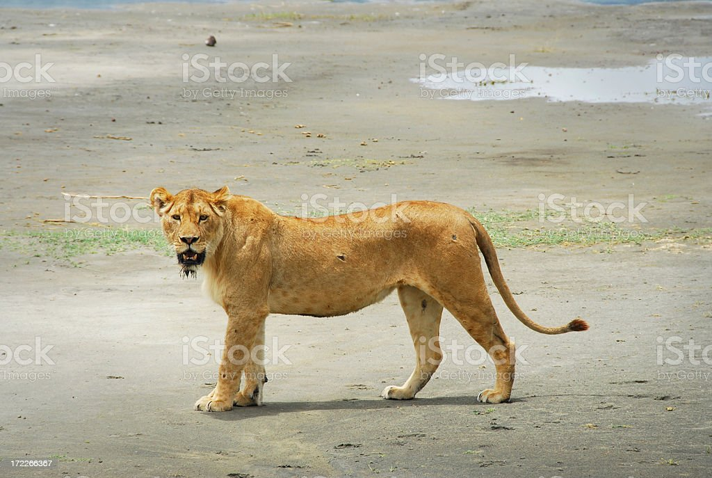 Lion in Ngorongoro Crater Conservation Area, Tanzania royalty-free stock photo