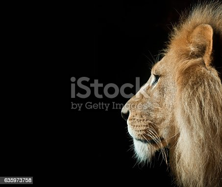 A male lion in portrait pose with an isolated black background.