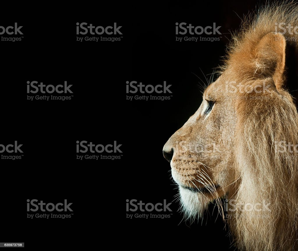 Lion in Portrait with Isolated Black Background stock photo
