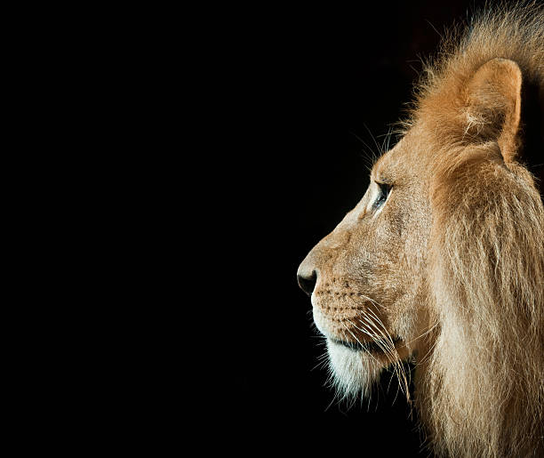 lion in portrait with isolated black background - lion stock photos and pictures