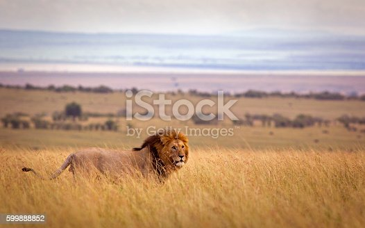 A lion in high grass with rolling landscape beyond - Masai Mara, Kenya