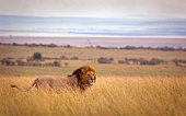 A lion in high grass with rolling landscape beyond - Masai Mara, Kenya