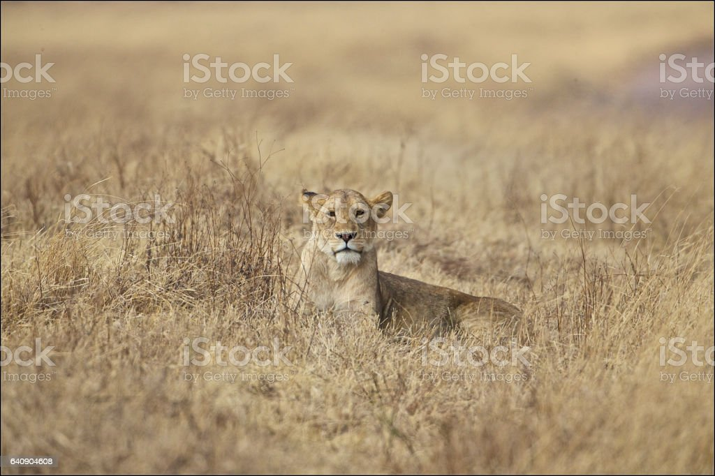 lion in switchgrass stock photo