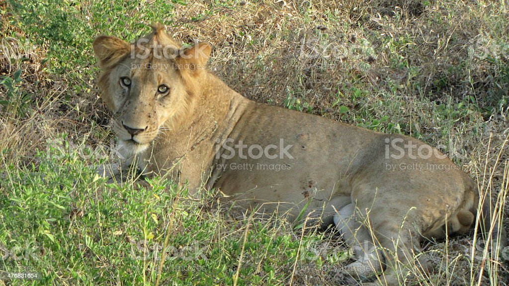 lion in the gras stock photo