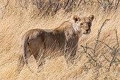 A female lion walks through a flock of birds in Etosha National Park in Namibia.