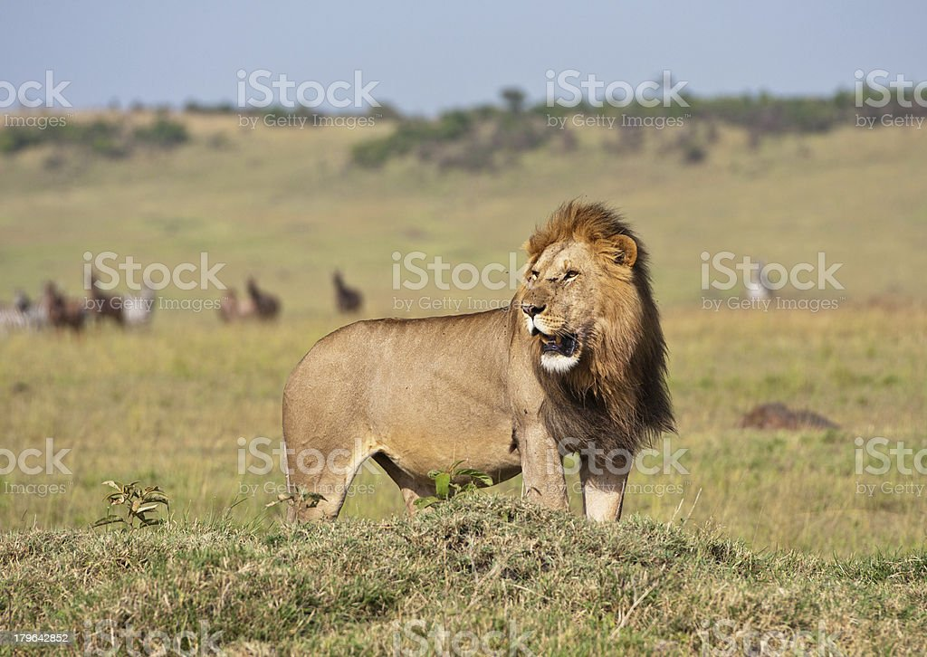 lion in the savannah stock photo