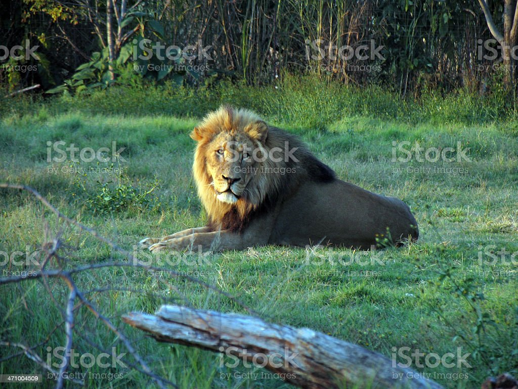 lion in the sunset royalty-free stock photo