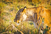 Lion in the wild in the African savannah. Lion - predator felines
