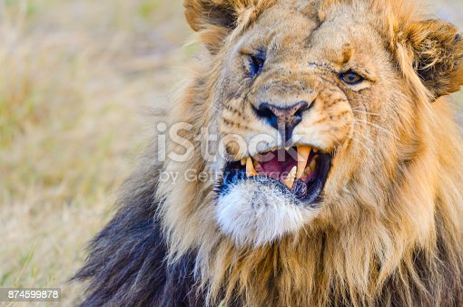 Lion in the wild. Snarling and roaring. Close up