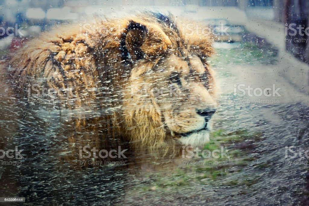 Lion in zoo stock photo