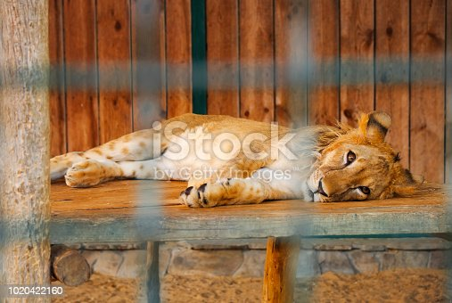 Lion is in the cage The animal lies