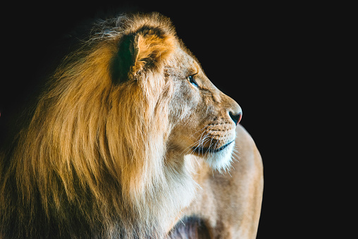 The king of animal life, the lion, isolated on black background.