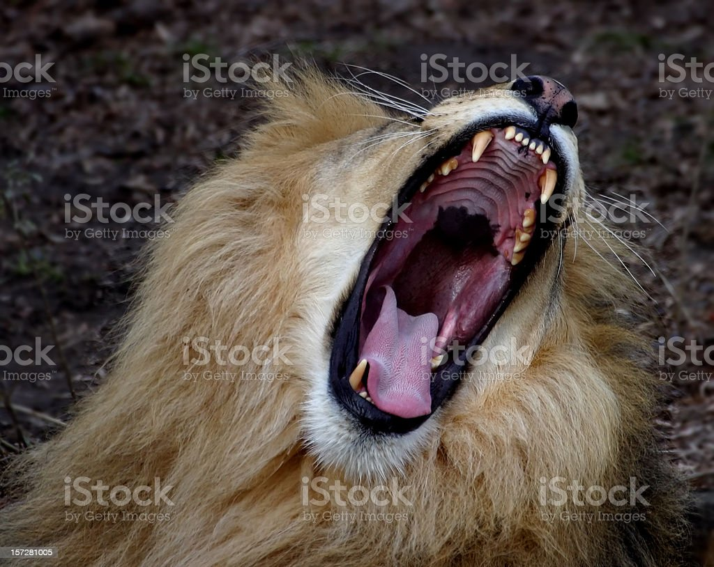 Lion Jaws stock photo