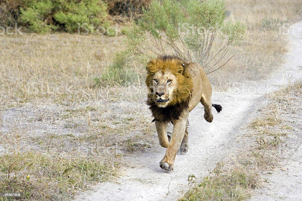 Lion Joggen – Foto