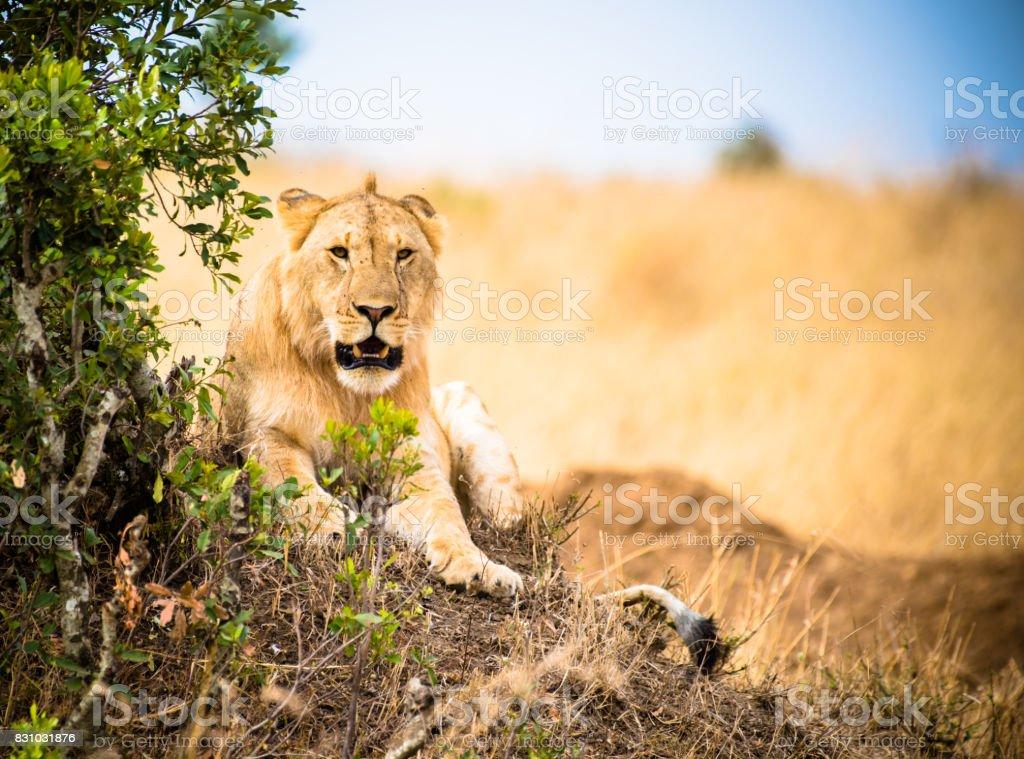 León Kenia foto de stock libre de derechos