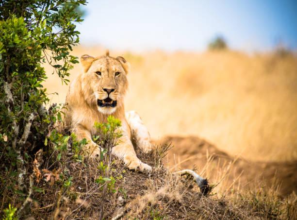 León Kenia - foto de stock