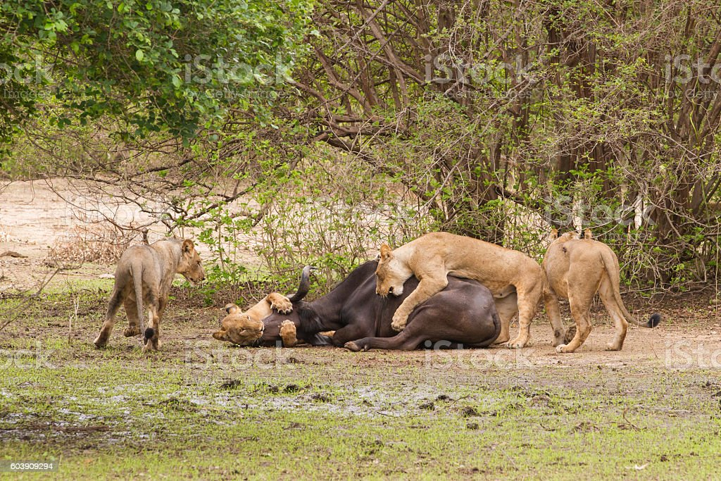 Lion (Panthera leo) killing an African Buffalo (Syncerus caffer) stock photo