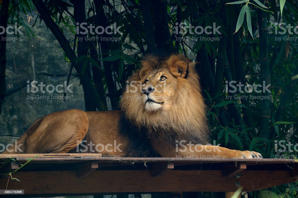 Lion King stock photo