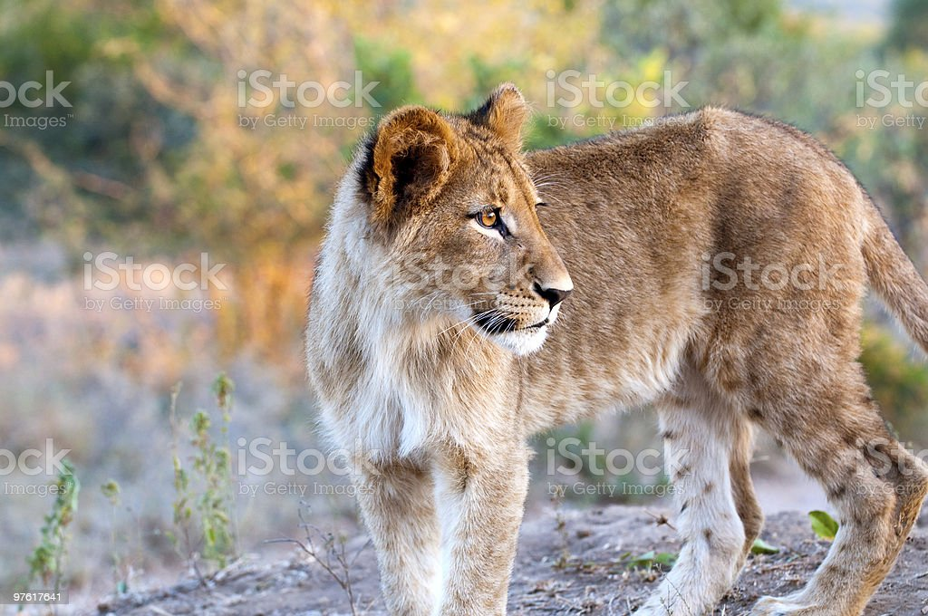 Lion - Löwe royalty-free stock photo