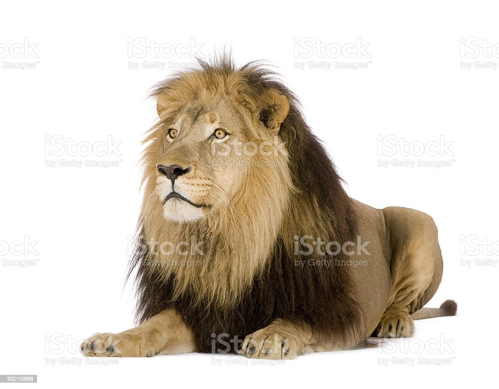 Lion laying down isolated on a white background stock photo