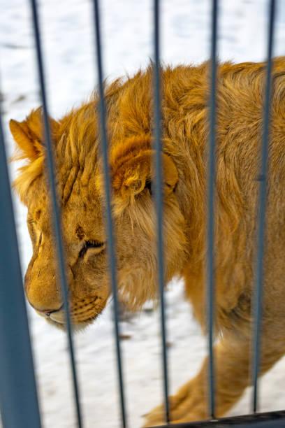 löwen liegt auf schnee, große schöne katze, schöne rothaarige raubtier, die katze im schnee. - puma king stock-fotos und bilder