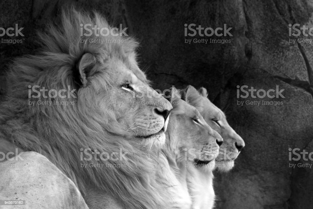 Lion Line stock photo