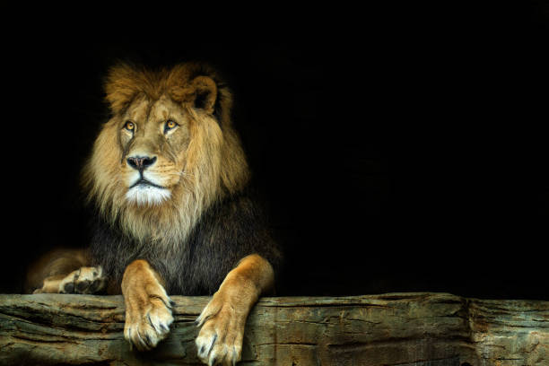 Lion. Lion sitting on a rock stock photo